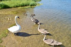 Family of swans ashore standing. Four swans one adult and three baby swans standing ashore royalty free stock photo