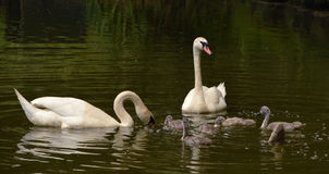 Family of swans birds on pond Royalty Free Stock Images