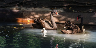 Family of the swans Royalty Free Stock Photography