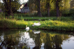 Family of swans with chicks in wild nature. In summer Royalty Free Stock Photos
