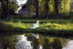 Family of swans with chicks in wild nature at sunset. In summer Royalty Free Stock Photo