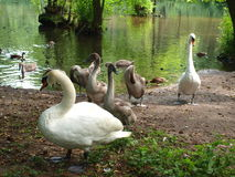 Family of swans. Royalty Free Stock Image
