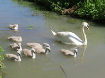 Family of Swans. Female swan with her brood of signets Royalty Free Stock Photos