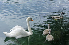 Family of swans floating in a lake Stock Photography