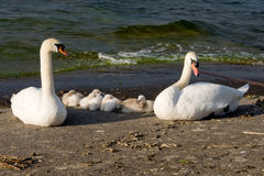 Family of swans in front of the lake stock photo