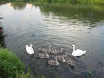 Family of swans Stock Photography