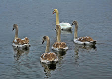 Family of swans. With the grown-up baby birds Royalty Free Stock Photography