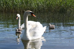 Family of swans on the lake. Family of swans on the como lake with reed background Royalty Free Stock Photos
