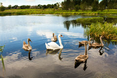 Family of swans on lake. Some the various swans swimming on lake (a swan family Stock Photo