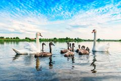 A family of swans Stock Photo