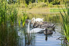 Family of swans on the lake. In Ukrainian city Kolomyia Royalty Free Stock Photos