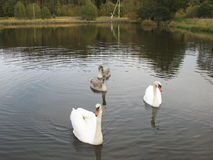 Family of swans. Living on a small pond Stock Photos