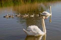 Family of swans. Stock Photos
