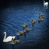 Family of swans 3 Stock Photo
