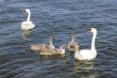 Family of swans Stock Photos