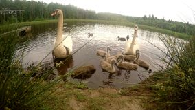 Family of swans in the pond stock footage
