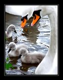 Family of swans in a pond. Family of orange-billed swans in a pond in a park Stock Photo