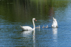 Family of swans in a pond Royalty Free Stock Photo