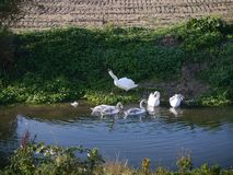Family of swans by river edge Royalty Free Stock Photo