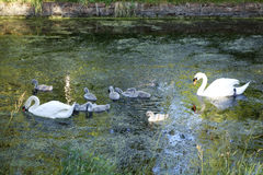 Family of swans Stock Photos