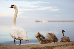 Family of swans on the shore Royalty Free Stock Image