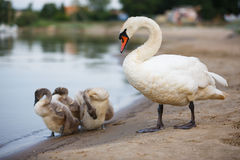 Family of swans on the shore Royalty Free Stock Photography