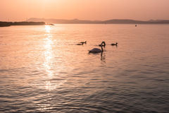 Family of swans at sunset on the lake Royalty Free Stock Images