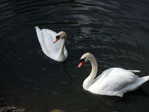 Family of swans, Royalty Free Stock Photos