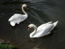 Family of swans, Royalty Free Stock Photography