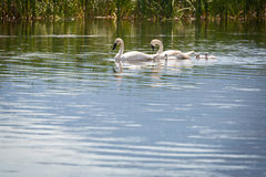 Family of Swans Swimming in a Beautiful Lake. Royalty Free Stock Photos