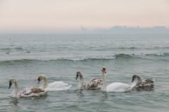 Family of swans swimming in the Black Sea. Odessa. Ukraine Royalty Free Stock Photography