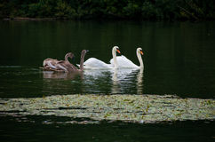 Family of swans. Swimming in a lake Stock Photo