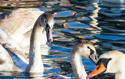 Family of swans swimming on the lake. A group of beautiful swans swims in blue water. Family love and friendship of animals. A family of swans swimming on the royalty free stock images