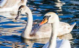 Family of swans swimming on the lake. A group of beautiful swans swims in blue water. Family love and friendship of animals. A family of swans swimming on the stock photo