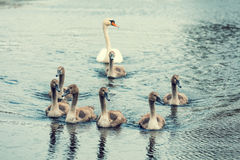 Family of swans. Swimming on the river Royalty Free Stock Images