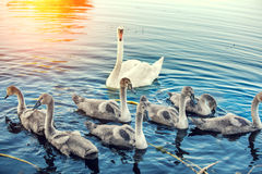 Family of swans. Swimming on the river Royalty Free Stock Photography