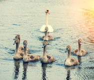 Family of swans. Swimming on the river Stock Photos