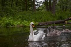 Family of swans swimming on the river Poland Royalty Free Stock Photos