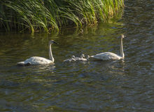 Family of Swans Royalty Free Stock Images