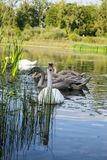 Family of swans on the water. The family of the swans is eating. The head of the family is watching you. Lake in Ukrainian city Kolomyia Stock Photography