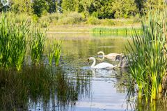 Family of swans on the water. Family of swans on the lake in Ukrainian city Kolomyia Royalty Free Stock Image