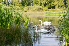 Family of swans on the water. Family of swans on the lake in Ukrainian city Kolomyia Stock Images