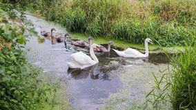 Family of swans on water, swimming in a line. Royalty Free Stock Photos