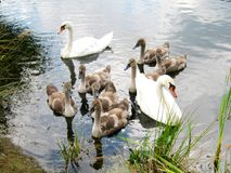Family of swans. White swans with grey-brown cubs on the pond Stock Photos