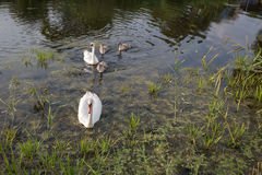 Family of swans. Stock Images