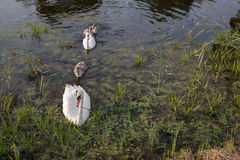 Family of swans. Royalty Free Stock Images