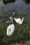 Family of swans. Royalty Free Stock Photo