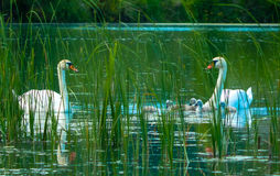 Family of swans wildlife. A family of swans on the lake`s wildlife Stock Photos