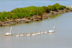 Family swans. Swans with young swans swimming on the lake Royalty Free Stock Image