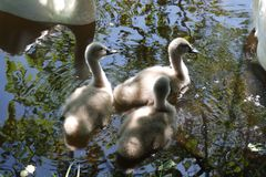 A family of swans with youngsters Stock Photos